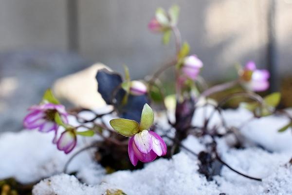 11雪割草.jpg
