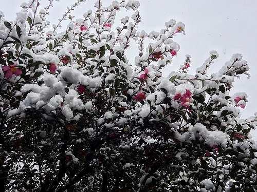 13-雪サザンカ11.jpg