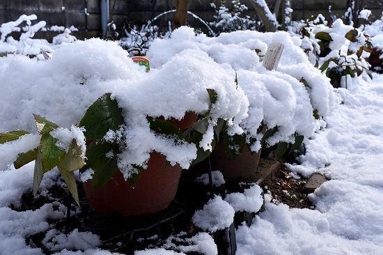 13クリスマスローズ雪.jpg