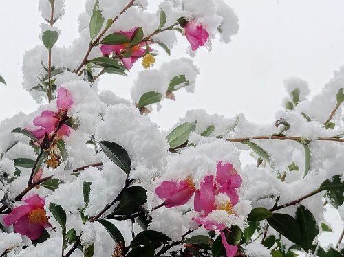 14-雪サザンカ.jpg