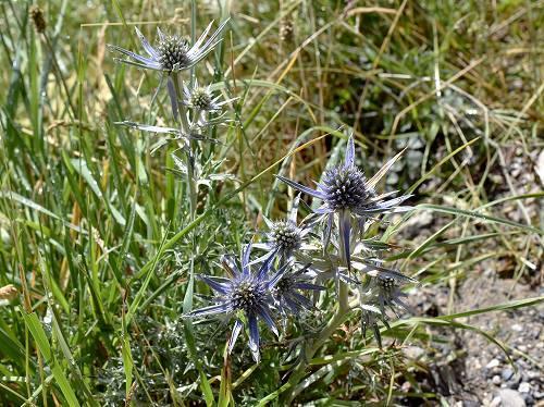 22-6セリ科Eryngium alpinum.jpg