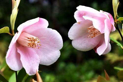 29匂い椿-春風.jpg