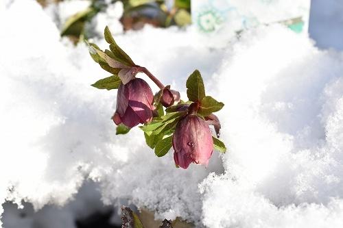 31-1雪割ローズ.jpg