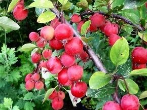 57ヒメリンゴ0831.jpg