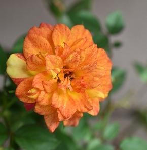 s-13バラオレンジ.jpg